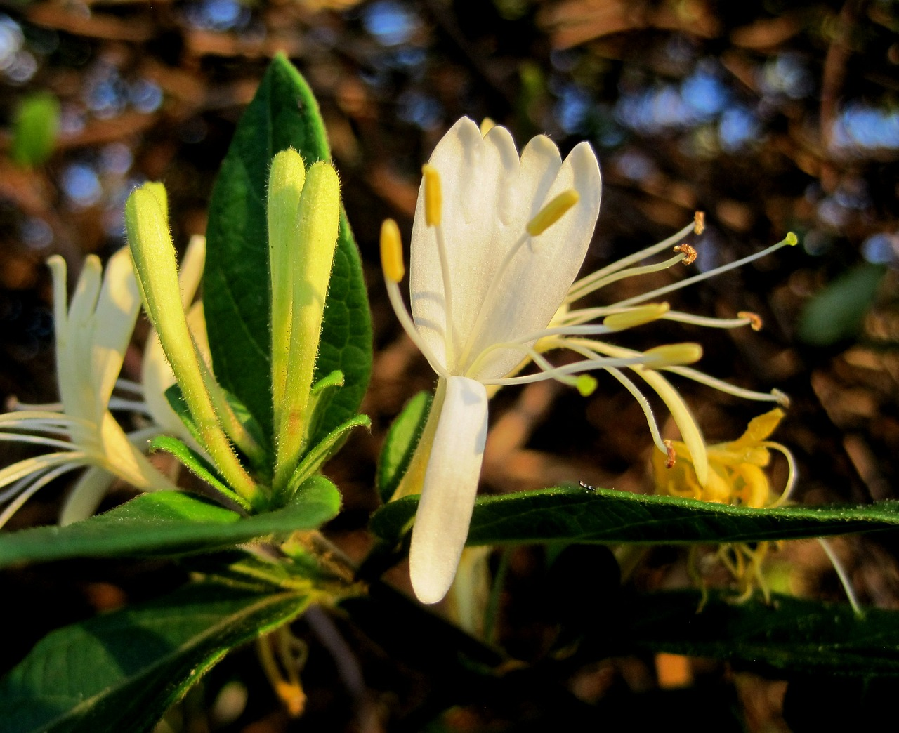 Honeysuckle Fragrance - 10mls